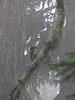 Picoides villosus, Hairy Woodpecker ? (Skyline Divide Trail, near Mount Baker, Washington)