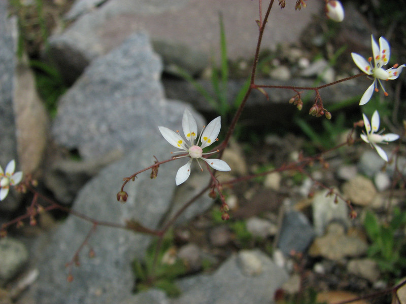 Micranthes ferruginea (Ptarmigan Trail, Mount Baker, Washington)