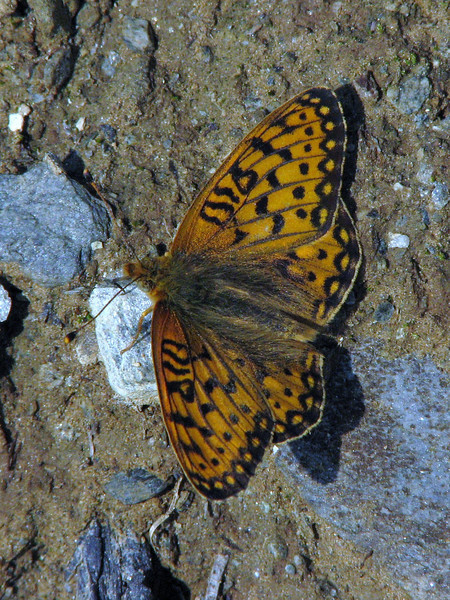 Boloria epithore, Pacific Fritillary (between Hidden Lake Trailhead and Hidden Lake, North Cascades National Park, Washington)