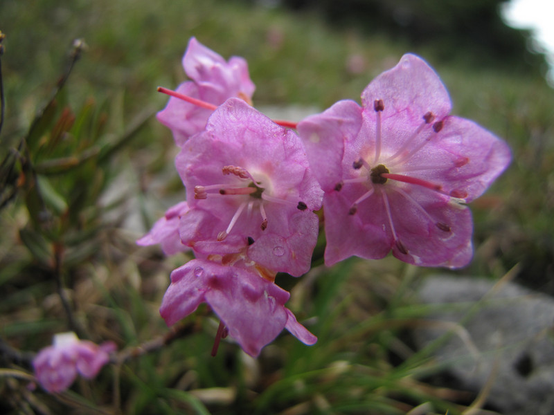 Kalmia microphylla (Ptarmigan Trail, Mount Baker, Washington)