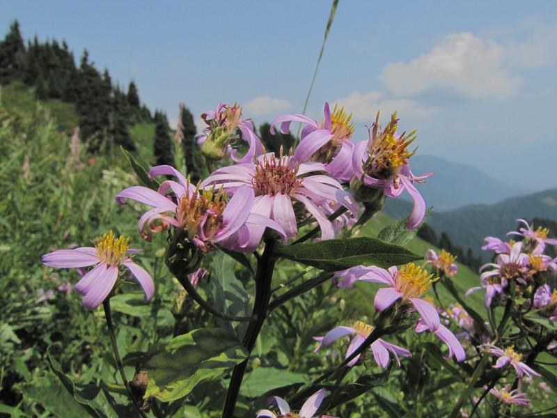 Erigeron spec.(between Sauk Mountain trailhead and Sauk Mountain, Mount Baker-Snoqualmie Natonal Forest, Washington)