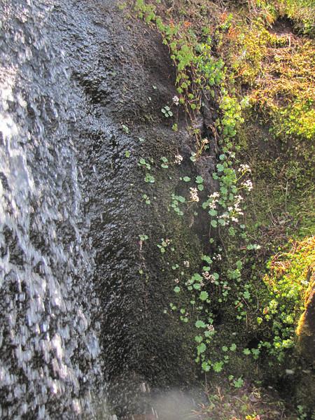 Habitat of Micranthes nelsoniana ssp. cascadensis (between Hidden Lake Trailhead and Hidden Lake, North Cascades National Park, Washington)