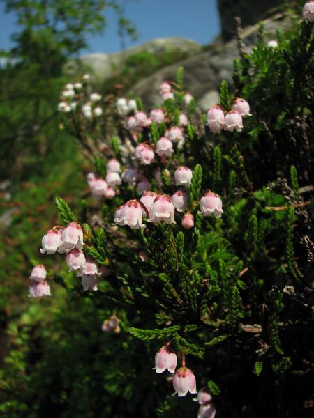 pink form of Cassiope mertensiana var. mertensiana (between Hidden Lake Trailhead and Hidden Lake, North Cascades National Park, Washington)