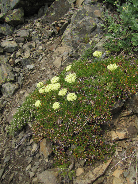Eriogonum spec. (Sauk Mountain Mount Baker-Snoqualmie Natonal Forest, Washington)