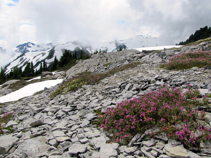 Phyllodoce glanduliflora and Phyllodoce empetriformis (Ptarmigan Trail, Mount Baker, Washington)