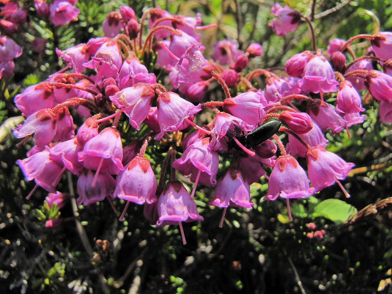 Phyllodoce empetriformis (between Hidden Lake Trailhead and Hidden Lake, North Cascades National Park, Washington)