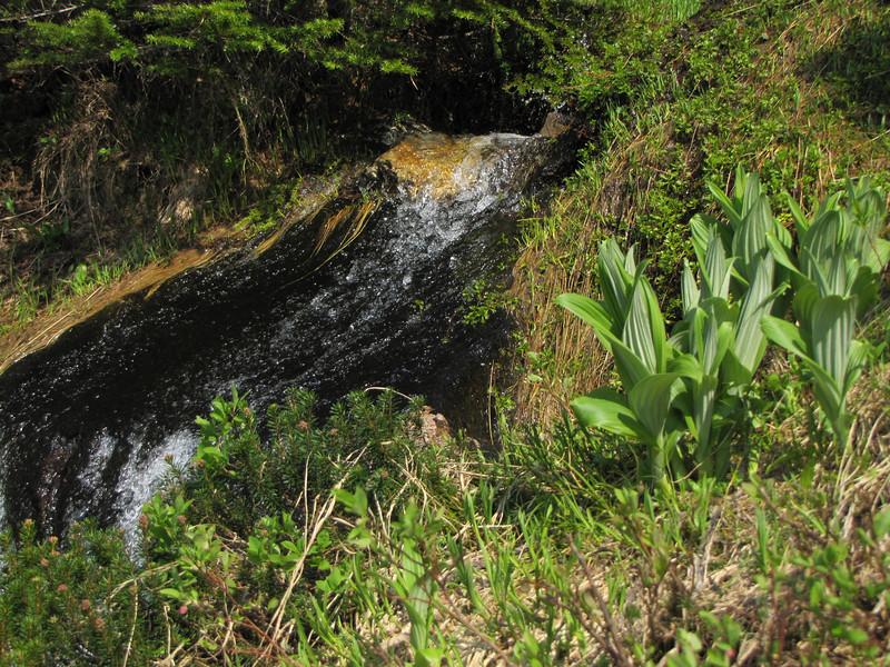 Veratrum viride (between Hidden Lake Trailhead and Hidden Lake, North Cascades National Park, Washington)