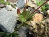 rosette of Micranthes ferruginea (Ptarmigan Trail, Mount Baker, Washington)