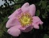 Rosa nutkana? (between Sauk Mountain trailhead and Sauk Mountain, Mount Baker-Snoqualmie Natonal Forest, Washington)
