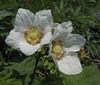 Rubus parviflorus, Thimbleberry (between Sauk Mountain trailhead and Sauk Mountain, Mount Baker-Snoqualmie Natonal Forest, Washington)