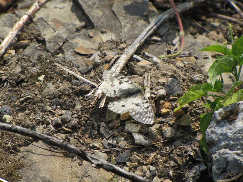 Parnassius smitheus, Rocky Mountain Parnassian, Sauk Mountain trailhead, Mount Baker-Snoqualmie Natonal Forest, Washington