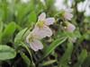 Claytonia lanceolata (Skyline Divede Trail, near Mount Baker, Washington)