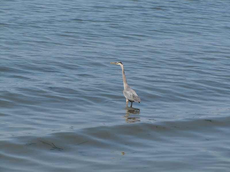 Ardea herodias, Great Blue Heron (Pacific Ocean, near Annacortes, Washington)