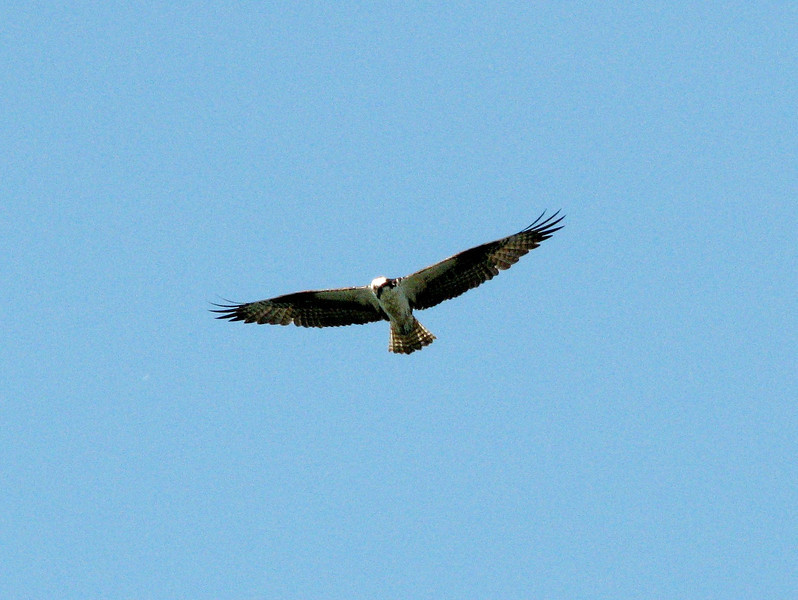 Pandion haliaetus, Osprey, (NL: Visarend) (near Annacortes, Washington)