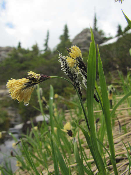 Carex spectabilis (Ptarmigan Trail, Mount Baker, Washington)