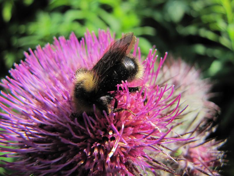 Bumblebee on Cirsium edule, (between Hidden Lake Trailhead and Hidden Lake, North Cascades National Park, Washington)