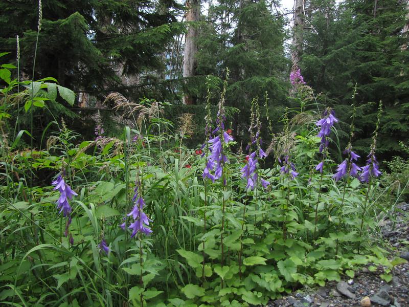 Campanula cf latifolia (nonnative) (Mount Baker area, Washington)