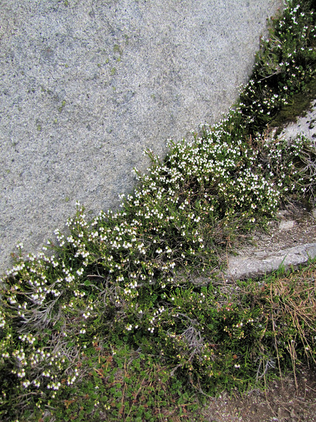 Cassiope mertensiana var. mertensiana (between Hidden Lake Trailhead and Hidden Lake, North Cascades National Park, Washington)
