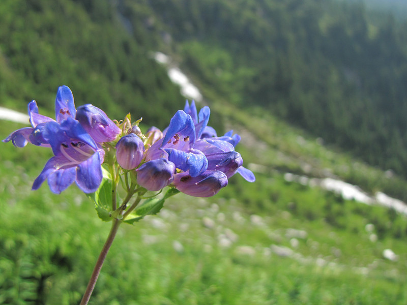 Penstemon ovatus (between Hidden Lake Trailhead and Hidden Lake, North Cascades National Park, Washington)