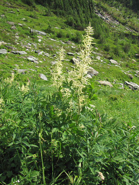 Aruncus dioicus (between Hidden Lake Trailhead and Hidden Lake, North Cascades National Park, Washington)