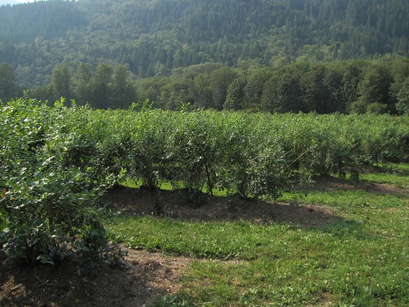 Blueberry field (Skagit Valley, Washington)