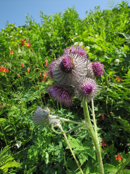Cirsium edule, (between Hidden Lake Trailhead and Hidden Lake, North Cascades National Park, Washington)