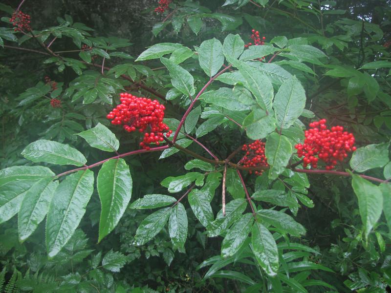 Sambucus racemosa (On the way back from trailhead Skyline Divide Trail, Mount Baker area, Washington)