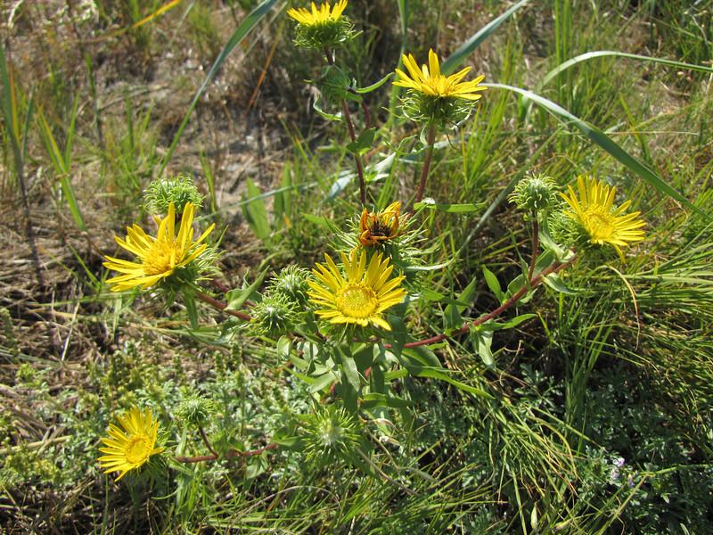 Grindelia spec. (near Annacortes, Washington)