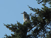 Ardea herodias, Great Blue Heron in tree of Pseudotsuga menziesii  (Bayview, NW of Mount Vernon, Washington)