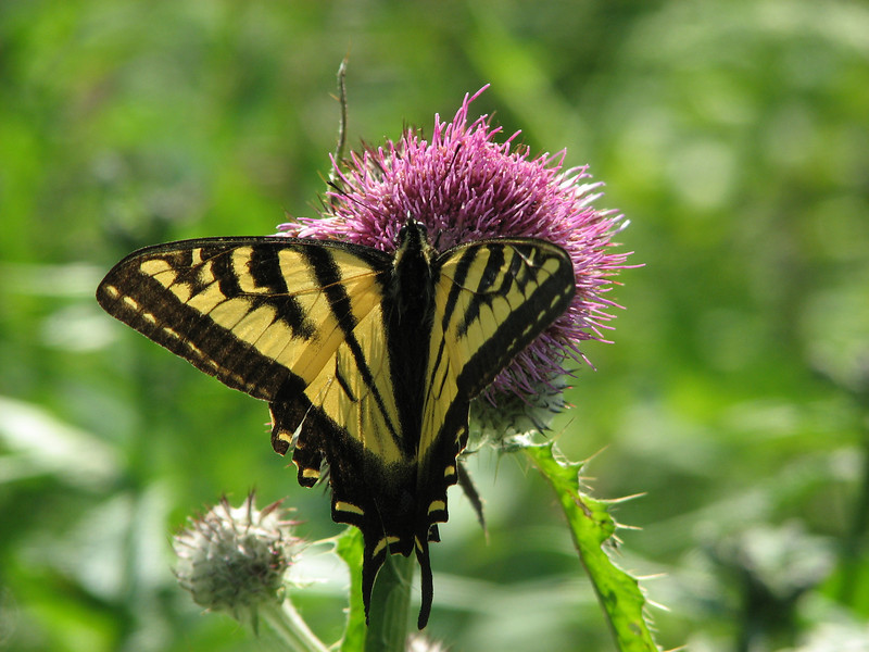 Papilio glaucus, (female) Eastern Tiger Swallowtail on Cirsium edule (between Hidden Lake Trailhead and Hidden Lake, North Cascades National Park, Washington)