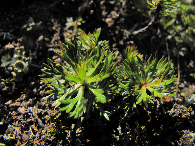 leafs of Luetkea pectinata (between Hidden Lake Trailhead and Hidden Lake, North Cascades National Park, Washington)