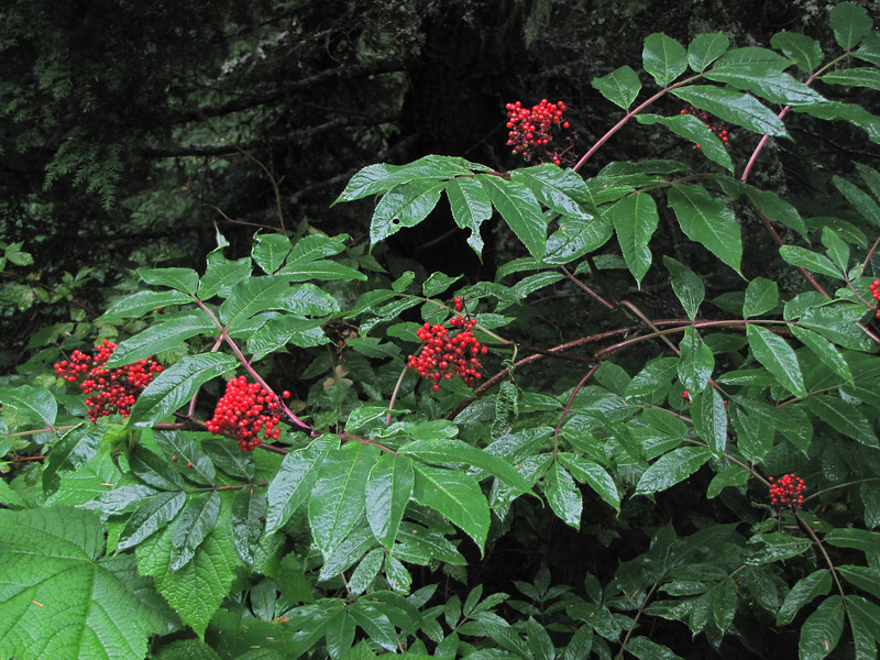 Sambucus racemosa (On the way back from trailhead Skyline Divide Trail, Mount Baker area, Washington)