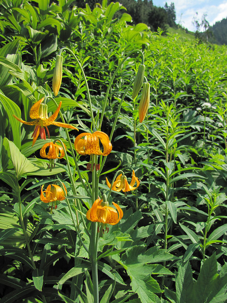 Lilium columbianum (between Hidden Lake Trailhead and Hidden Lake, North Cascades National Park, Washington)
