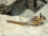 Tamias amoenus, Yellow-pine Chipmunk (between Sauk Mountain trailhead and Sauk Mountain, Mount Baker-Snoqualmie Natonal Forest, Washington)