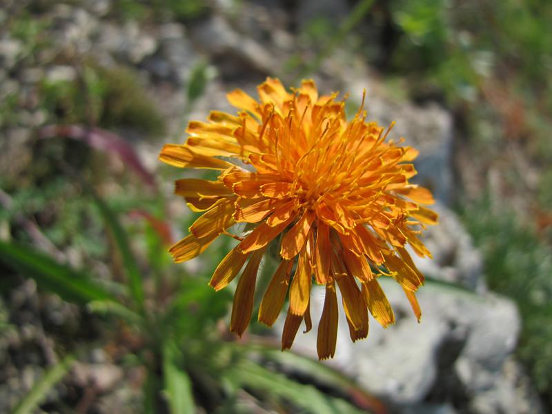 Agoseris aurantiaca (between Sauk Mountain trailhead and Sauk Mountain, Mount Baker-Snoqualmie Natonal Forest, Washington)
