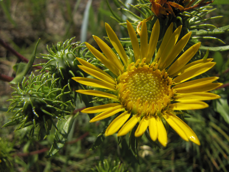 Grindelia spec. (near Annacortes, Washington)