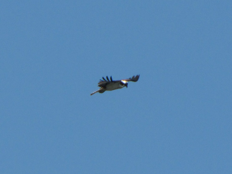 Pandion haliaetus, Osprey, (NL: Visarend) (Pacific Ocean, near Annacortes, Washington)
