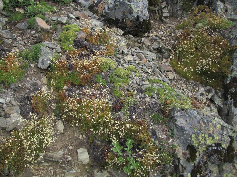 Saxifraga bronchialis ssp. austromontana (between Sauk Mountain trailhead and Sauk Mountain, Mount Baker-Snoqualmie Natonal Forest, Washington)