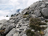 Cassiope mertensiana var. mertensiana (Ptarmigan Trail, Mount Baker, Washington)