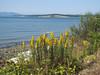 Solidago canadensis (Pacific Ocean, near Annacortes, Washington)