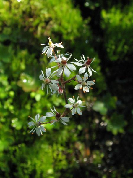 Micranthes nelsoniana ssp. cascadensis? (between Hidden Lake Trailhead and Hidden Lake, North Cascades National Park, Washington)