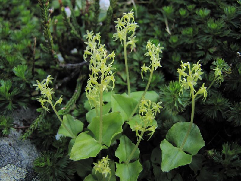 Listera cordata (between Hidden Lake Trailhead and Hidden Lake, North Cascades National Park, Washington)