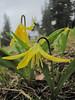 Erythronium grandiflorum (Skyline Divede Trail, near Mount Baker, Washington)
