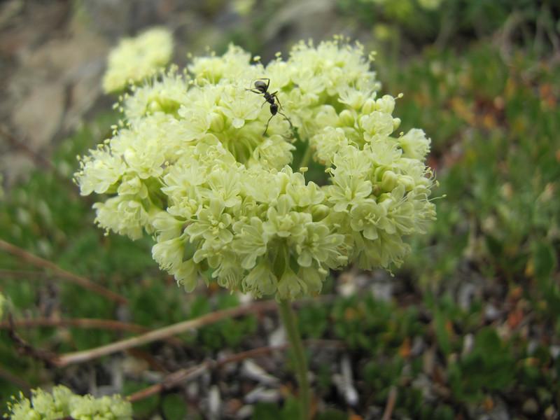 Eriogonum spec. (Sauk Mountain Mount Baker-Snoqualmie Natonal Forest, Washington)
