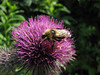 Bumblebee on Cirsium edule, (between Hidden Lake Trailhead and Hidden Lake, North Cascades National Park, Washington)
