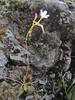 Montia parvifolia (between Sauk Mountain trailhead and Sauk Mountain, Mount Baker-Snoqualmie Natonal Forest, Washington)