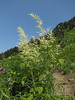 Aruncus dioicus (between Hidden Lake Trailhead and Hidden Lake, North Cascades National Park, Washington)