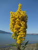 Solidago canadensis (near Annacortes, Washington)