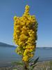 Solidago canadensis (near Annacortes, Washington)