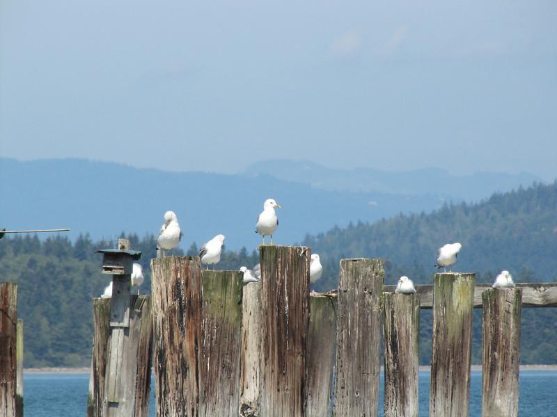 Gull (Pacific Ocean near Annacortes, Washington)